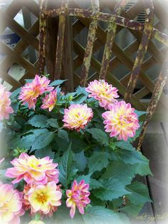 dahlias planted in a rusty iron chair