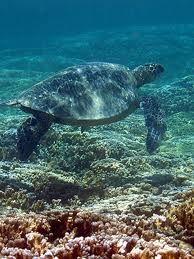 Giant Sea Turtle  Hanauma Bay Hawaii
