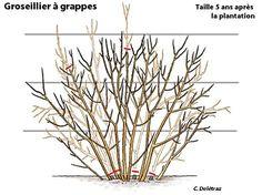 Comment et quand tailler les groseilliers