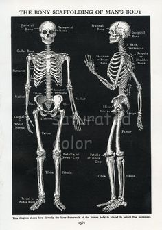 Human Skeleton Anatomy Vintage 1940s High Res by SaturatedColor