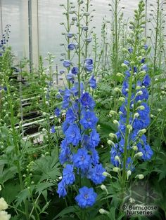 Delphinium 'Blue Bird' from Burncoose Nurseries available online to buy - Information: clear blue. Love Flowers, Beautiful Flowers, Beautiful Things, Plant Pictures, Plants Online, Photo Blue, All Plants, Coastal Cottage, Flower Beds