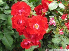 Le bouturage des rosiers
