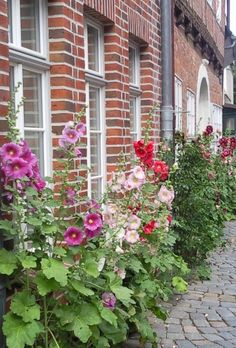 Common Hollyhock (Alcea rosea) in Lüneburg, Germany