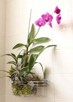 Orchids love the moist, humid bathroom environment. Coincidentally mold also loves the same conditions, but orchids are a much prettier form of plant-life. Orchids are also essentially air plants, and that's why this suction-capped shower caddy arrangemen Orchid Plants, Air Plants, Indoor Plants, Indoor Gardening, Container Gardening, Potted Plants, Orchids Garden, Indoor Orchids, Vegetable Gardening