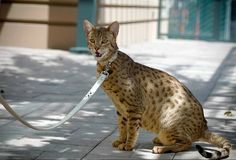 images of unusal cats | Ashera cat may reach a weigh up to 40 lbs and it will be like a mini ...