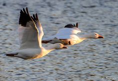 """euph0r14: """"Snow geese flying at sunset   by pgu2005 Source: http://ift.tt/2nvNNTR """""""