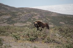 Watch gallery for muskox hunting in Greenland Major Hunting