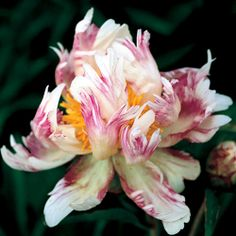 Bric-a-Brac Paoenia lactiflora Peony Plant ~ Peonies are a favorite of mine, reminds me of Mama B.