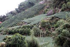 Alishan, Taiwan - tea farms.  So beautiful
