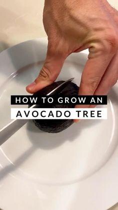Regrow Vegetables, Planting Vegetables, Growing Vegetables, Growing Plants, Growing An Avocado Tree, Avocado Plant, Inside Plants, Summer Plants, Home Vegetable Garden