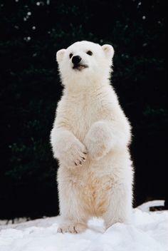 Baby Polar Bear Cub. What a cutie!!!   I just want to 'mush' him!!!!