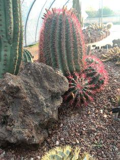 Ferocactus stainesii Bellos reflejos del sol sonbre las rojas espinas Jardín Botánico Juan Carlos I  Universidad Alcalá de Henares  (c) Félix Loarte 2014