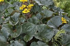 Ligularia 'Britt Marie Crawford'.  These were planted in pots in the garden so they stood tall and didn't flop everywhere, good idea.