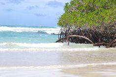 Galapagos islands - Mangroves in Tortuga Bay. #nature #beach #beautiful #beauty #uniqueplaces #ecuador #southamerica #terrasenses