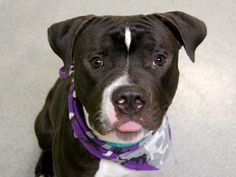 TO BE DESTROYED - 09/18/14 Manhattan Center -P  My name is TYSON. My Animal ID # is A1013315. I am a male black and white pit bull mix. The shelter thinks I am about 1 YEAR   I came in the shelter as a STRAY on 09/07/2014 from NY 10457, owner surrender reason stated was ABANDON.