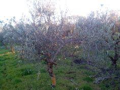 Podando los olivos