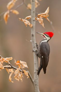 Pileated Woodpecker -one of these occasionally stops by my feeders on the deck! I nicknamed him Woody (Woodpecker)! Kinds Of Birds, All Birds, Love Birds, Birds Pics, Pretty Birds, Beautiful Birds, Animals Beautiful, Your Spirit Animal, Backyard Birds