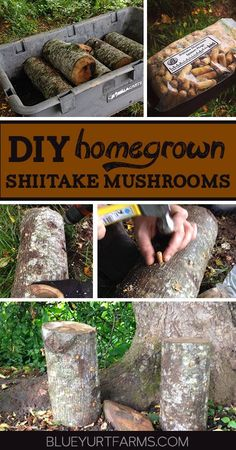 DIY Homegrown Shiitake Mushroom Logs | Blue Yurt Farms #easy #homesteading