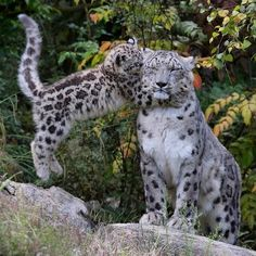 Mother cat with baby Big Cats, Cool Cats, Cats And Kittens, Leopard Cub, Snow Leopard, Baby Animals, Funny Animals, Cute Animals, Beautiful Cats