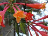 Lonicera sempervirens (Coral honeysuckle) www.wildflower.org-- info