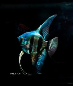 angelfish - Google zoeken