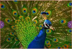 Peacock in bloom!
