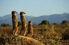 Staring at the Sun Photograph by Clemens Capek, National Geographic ~~ A meerkat family warms up at sunrise in Oudtshoorn, South Africa Animals And Pets, Funny Animals, Cute Animals, National Geographic Archives, Sun Photo, African Animals, Funny Animal Pictures, Wildlife Photography, Pet Birds