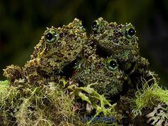 Vietnamese Mossy Frog (Theloderma corticale), captive.