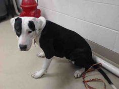 01/04/16--HOUSTON - -EXTREMELY HIGH KILL FACILITY -     WHOPO - ID#A450195  I have a possible adopter.  My name is WHOPO  I am a male, black and white American Bulldog and Alaskan Husky.  The shelter staff think I am about 3 years old.  I have been at the shelter since Jan 02, 2016.  This information was refreshed 44 minutes ago and may not represent all of the animals at the Harris County Public Health and Environmental Services.