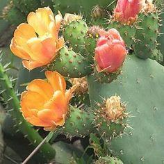 Chumbera (Opuntia ficus-indica) - Flores