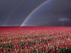 Storm Over Tulip Fields Near Rutten Flevoland Netherlands. Courtesy http://wallpapers5.com (CC). - Pixdaus