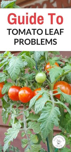 Growing Tomatoes In Pots Your tomato plant's leaves are talking to you. Find out what those brown tomato leaves are saying with this guide to tomato leaf problems. Growing Tomatoes In Containers, Growing Vegetables, Grow Tomatoes, Baby Tomatoes, Growing Plants, Tomato Garden, Tomato Plants, Tomato Tomato, Tomato Vegetable