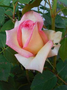 The Lady - Hybrid Tea Roses - Roses - Heirloom Roses