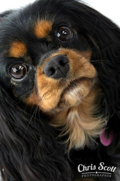 Adorable Cavalier King Charles - Black & Tan