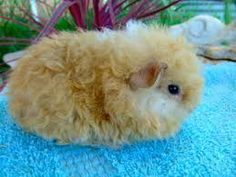Image result for texel baby guinea pigs
