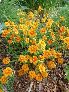 Photo of Rock Rose (Helianthemum nummularium 'Ben Nevis') uploaded by growitall