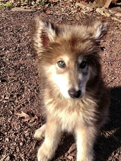 American Alsatian puppy- so cute! Really Cute Puppies, Cute Dogs, Beautiful Dogs, Animals Beautiful, American Alsatian, Puppies And Kitties, Doggies, Dire Wolf, Nature Animals
