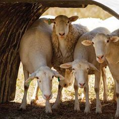 A sheep shelter can be the key to a smooth and comfortable lambing time.