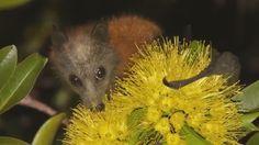 Megabats Flying-foxes Fruit Bats - Sunshine Coast Queensland http://www.batsrule.info/2016/06/megabats-flying-foxes-fruit-bats.html