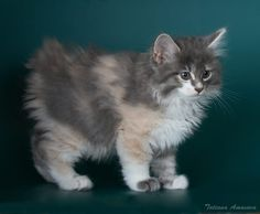 -m- Kurilian bobtail, beautiful,! Beautiful Kittens, Animals Beautiful, Gato Calico, Calico Cats, Exotic Cat Breeds, Animals And Pets, Cute Animals, Purebred Cats, Japanese Bobtail