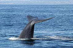 Blue whales, whale watchers flocking to California coast