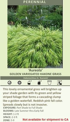 'Aureola' GOLDEN VARIEGATED HAKONE GRASS Hakonechloa m. 'Aureola' This lovely ornamental grass will brighten up your shade garden with its green and yellow striped foliage that forms a cascading clump like a golden waterfall. Reddish pink fall color. Spreads slowly but is not invasive. EXPOSURE: Part Shade to Full Shade BLOOMS: Late Summer thru Early Fall HEIGHT: 1-2 ft SPACE: 2-3 ft ZONE: 5-9