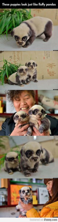 These Puppies Look Just Like Fluffy Pandas! so cute!