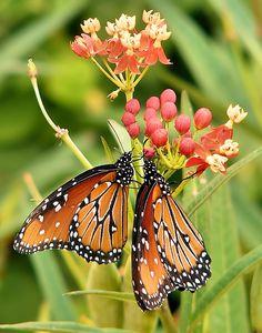 Queen Butterflies, host plants are both herbs and vines of the milkweed