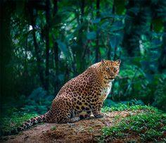 Leopardo embarazada