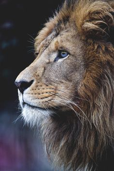 New African Animal Art Wildlife Big Cats 62 Ideas Lion Images, Lion Pictures, Daily Pictures, Nature Animals, Animals And Pets, Cute Animals, Wild Animals, Baby Animals, Beautiful Cats