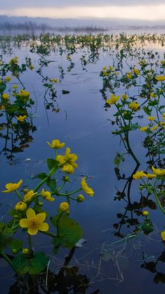 Marsh Marigold (kaczence) in Bialowieski National Park by PolandMFA