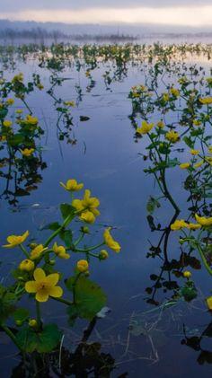 Marsh Marigold (kaczence) in Bialowieski National Park by PolandMFA