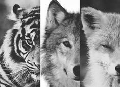 tiger, wolf and fox