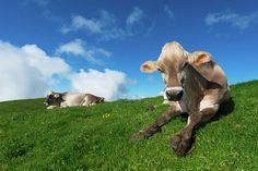 Cows Rest by: Elena Riim